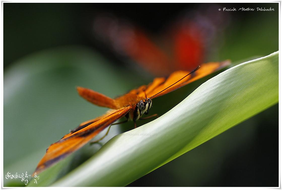 Dryadula phaetusa - Nymphalidae