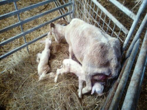 Première naissance dans le troupeau de Julie