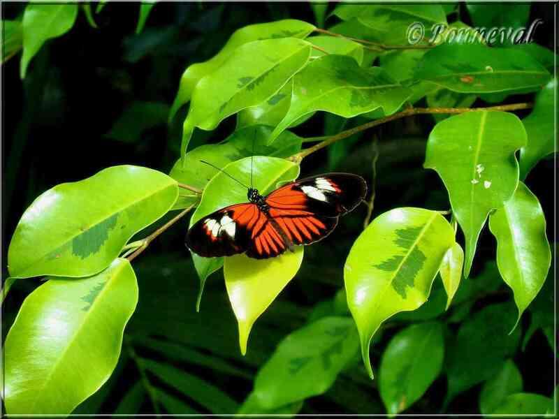 Papillons tropicaux Heliconius sp