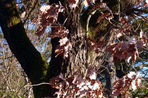Feuilles du chêne en février