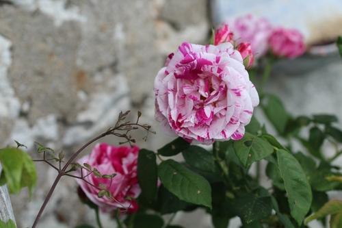 Bouquets de roses - 3