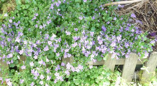 Les fleurs du petit jardin en juin