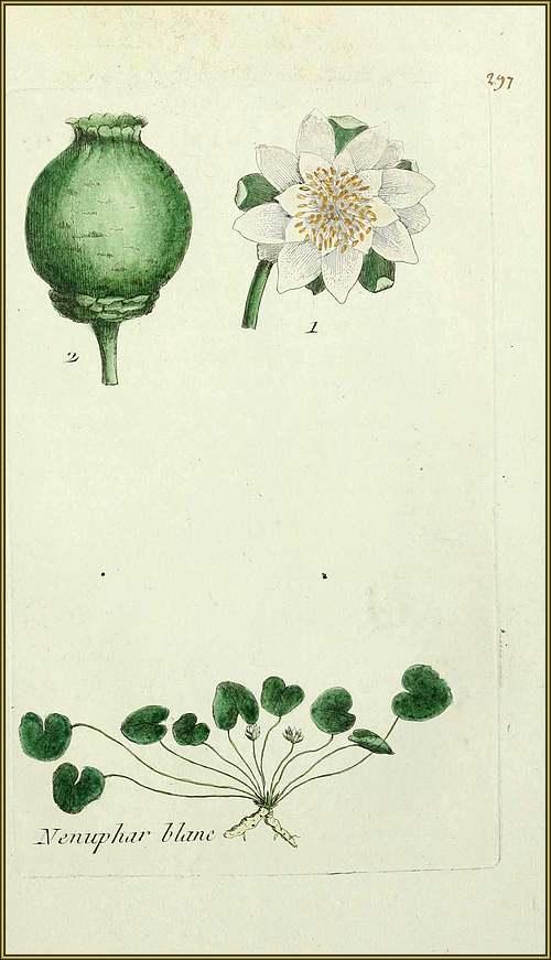 Le grand Almanach de la Fance : Le nénuphar blanc