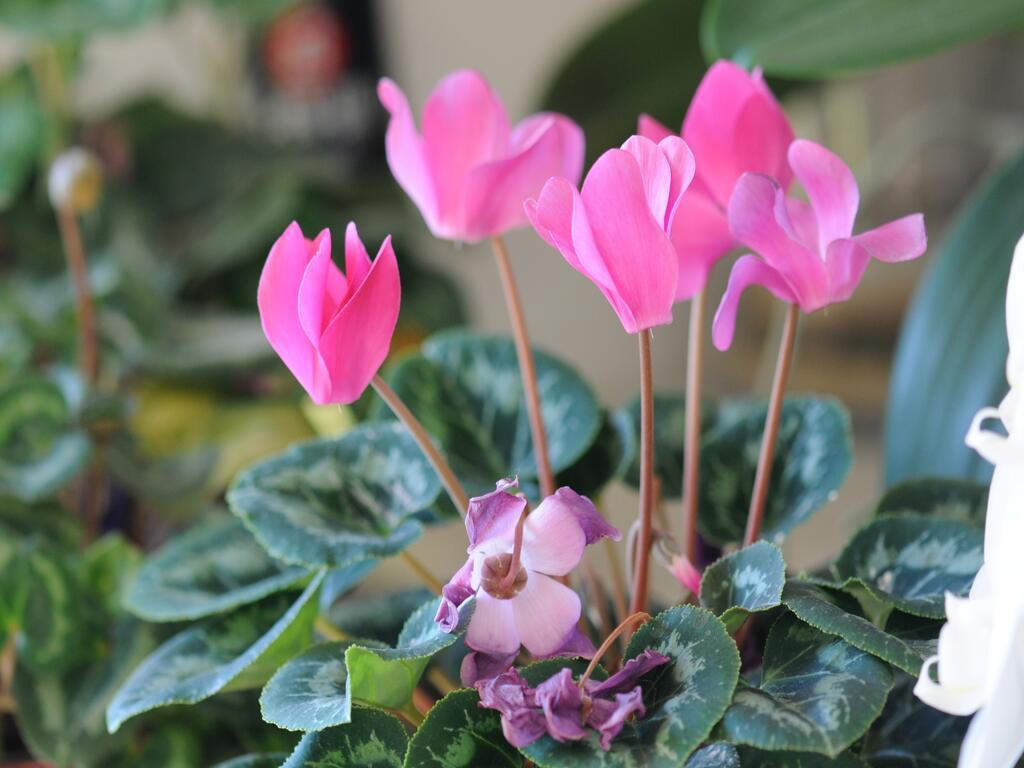 Les plantes à fleurs de la maison(4)...le cyclamen et... à suivre