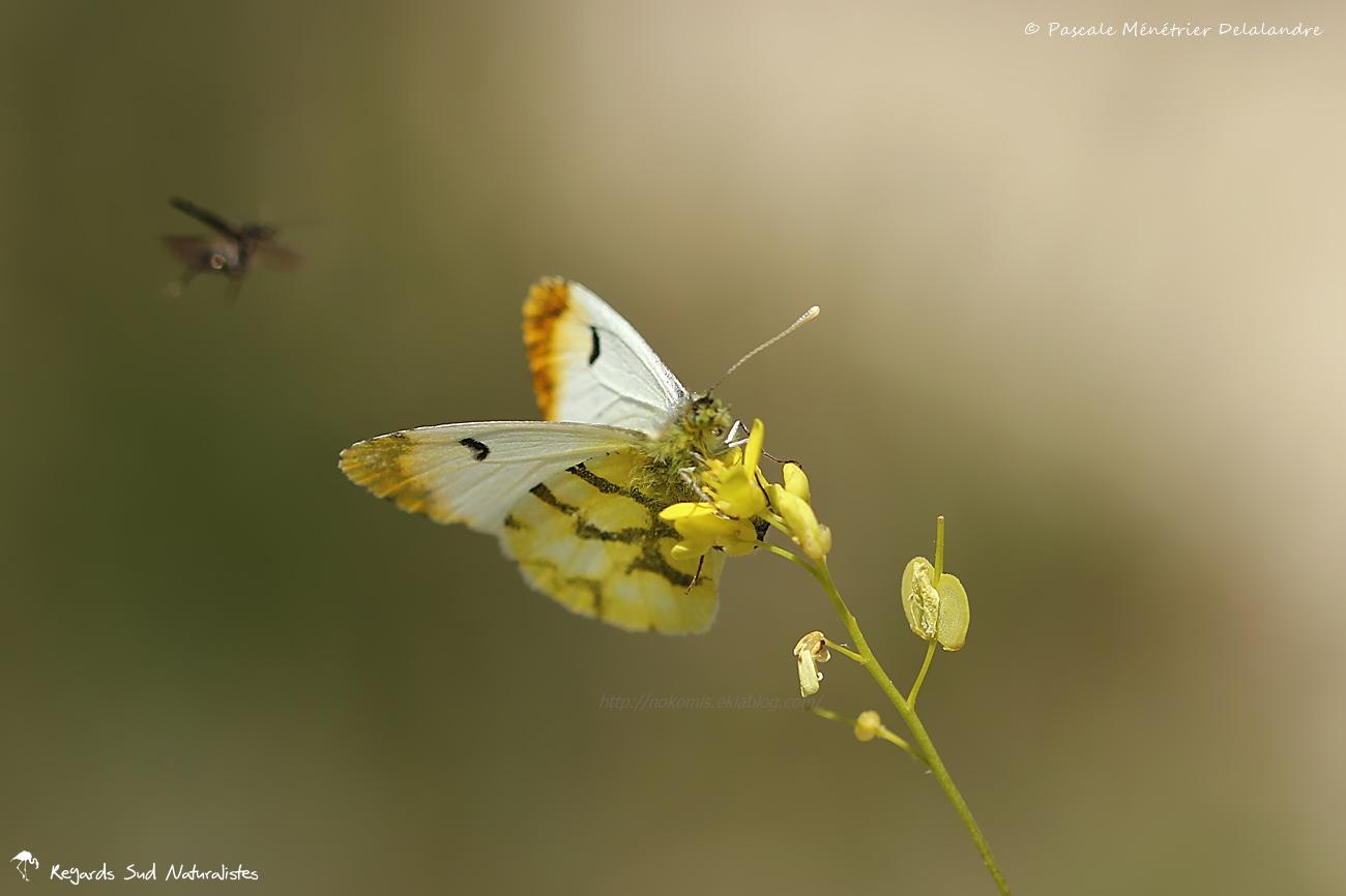 Aurore ♂ ou Piéride du Cresson (Anthocharis cardamines) - Pieridae