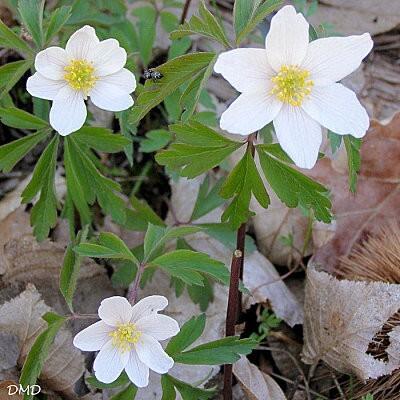 anemonenemorosad