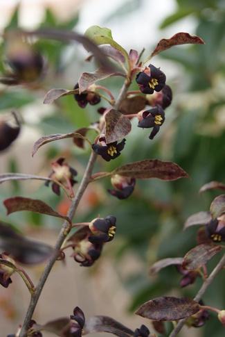 pittosporum tenuifolium purpureum en avril