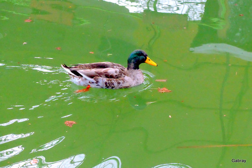 Canal du Midi : les canards !