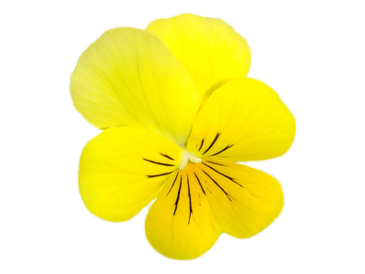 Fleurs Pensées / 1