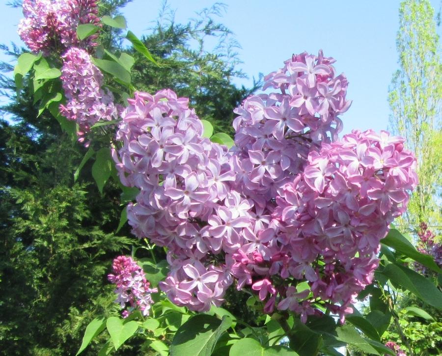 Printemps naissant, le lilas des zirondelles