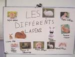 Exposé sur les lapins