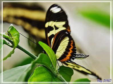 Papillon tigré à longues ailes, Isabella's Longwing (Eueides isabella dianasa) - Parque das Aves - Foz do Iguaçu - Brésil
