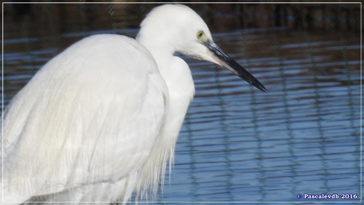 Réserve ornitho du Teich - Décembre 2016 - 5/13