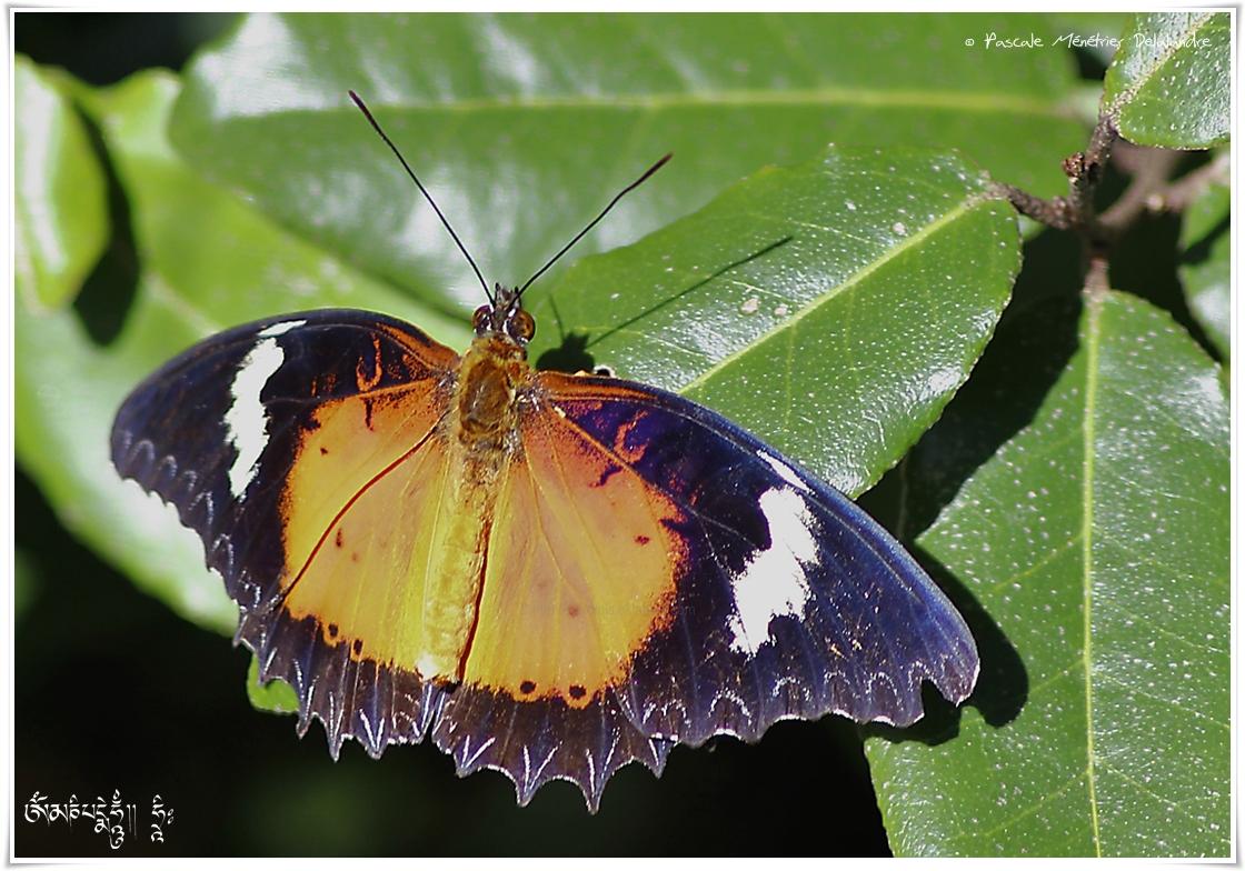 Cethosia biblis - Nymphalidae