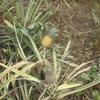Togo Piste des Plateaux Ananas