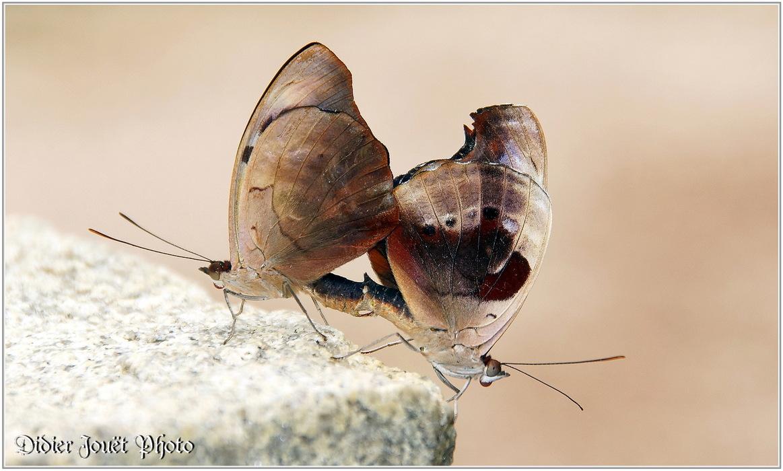 Cordonnier Grec / Colobura dirce