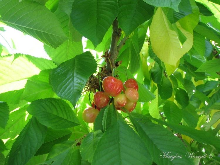 Le cerisier de Gaby