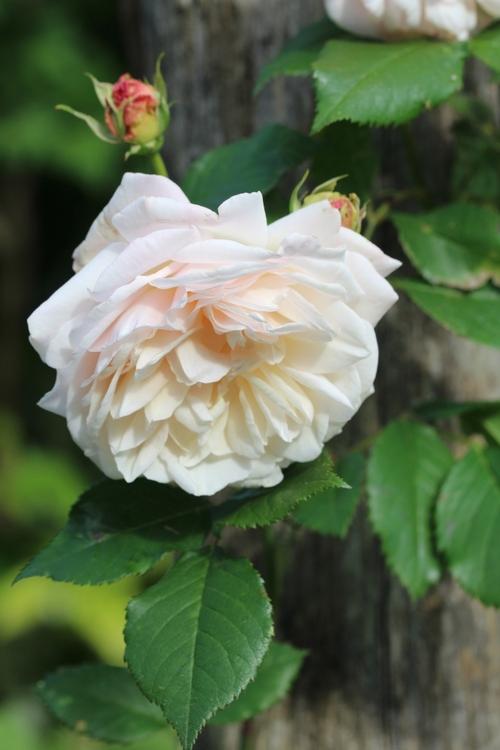 Suite des roses
