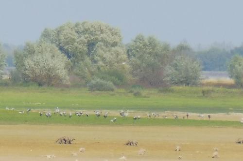 En migration au Lac du Der