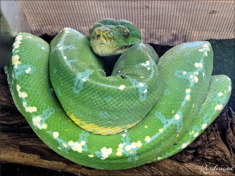 Photo de Python vert - Planet Exotica