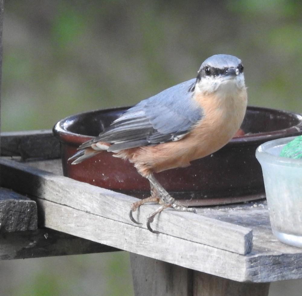 Les oiseaux de mon jardin : la sitelle torchepot...