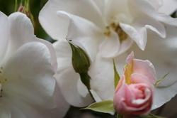 le jardin de Patou aime la vie en rose