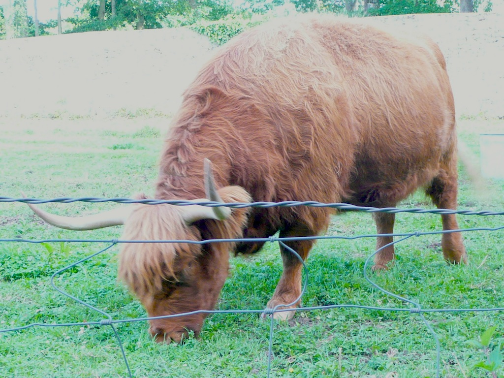 DEFI DE YANN: les Vaches!