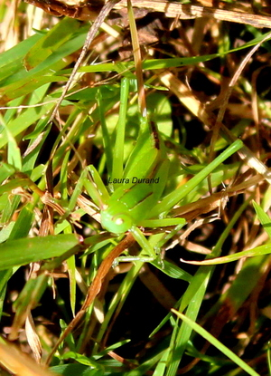 Tettigonia Viridissima ou La Grande Sauterelle Verte - Pas encore adulte