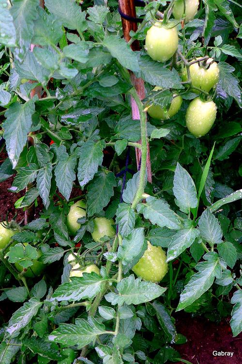 Des légumes dans mon jardin !