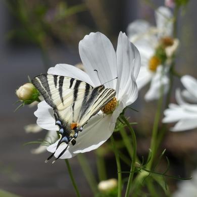 L'été du Chat Vert : papillon