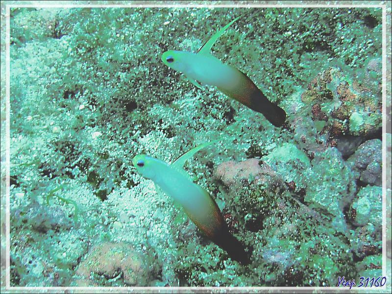 Gobie de feu, Eléotris magnifique, Fire goby, Red fire goby, Fire dartfish (Nemateleotris magnifica) - Moofushi - Atoll d'Ari - Maldives
