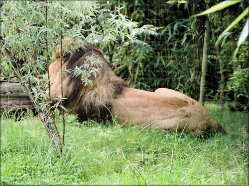 Photo de lion au zoo de Pessac en Gironde