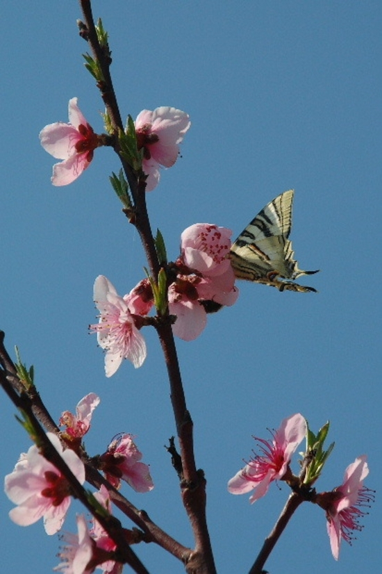 fleurs-peche-et-papillon-f