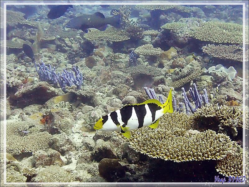 Mérou sellé ou léopard juvénile, Black-saddle coral grouper (Plectropomus laevis) - Baleine - Tsarabanjina - Mitsio - Madagascar