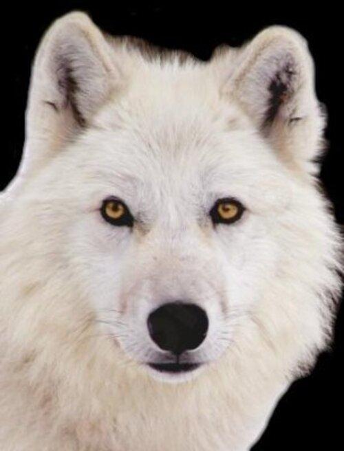 La légende du loup blanc !