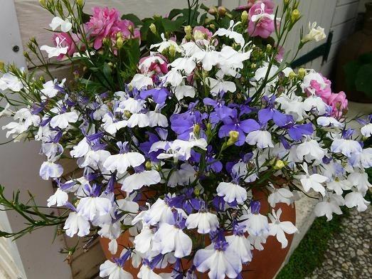 Lobelias-blanc-bleu-28-6-10-032.jpg