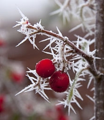 Frosted_Berries_1_(5237543619)