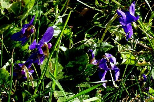 Des violettes