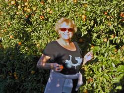 La cueillette des oranges...