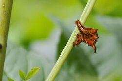 L'Ennomos du lilas  (Apeira syringaria)  Geometridae (à Haute-Rive au bord de la Sarine)