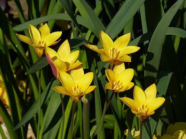Tulipe P02
