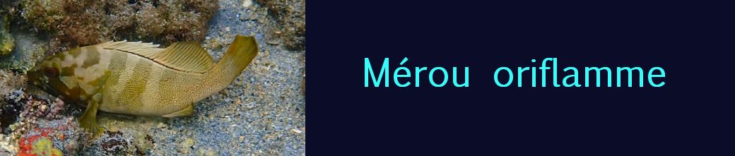 mérou oriflamme