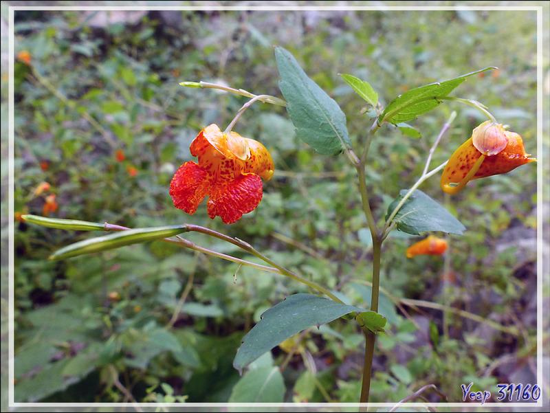 Impatiente ou Balsamine du Cap, Spotted Jewelweed (Impatiens capensis) - Petit Lac Preston - Duhamel - Outaouais - Québec - Canada
