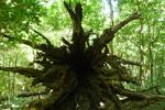 racine arbre Rincon de la vieja
