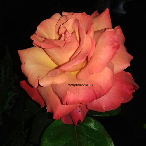 Vive la rose et le lilas...