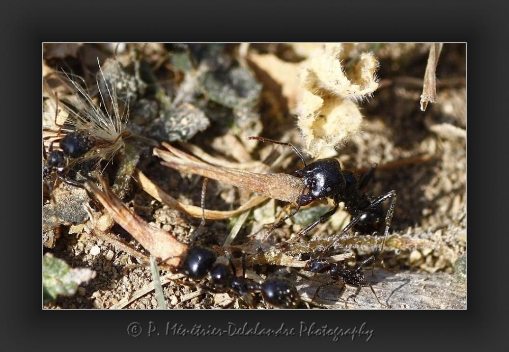 Travail titanesque des fourmis...