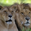 couple-lion