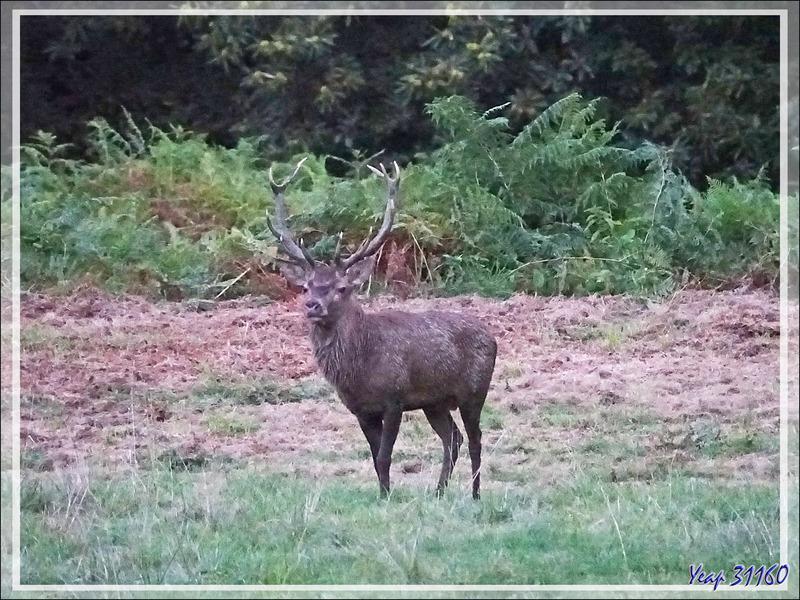 24/09/2019, 7h30mn : brame du cerf vu de la route - Lartigau - Milhas - 31