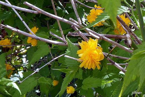 Les fleurs jaunes de la corête du Japon