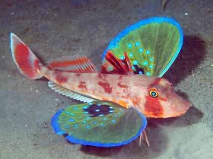 sea-robin.jpg